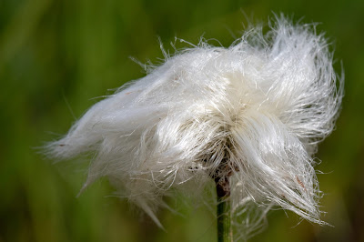[Cyperaceae] Eriophorum scheuchzeri – White Cotton Grass (Pennacchi di Scheuchzer)