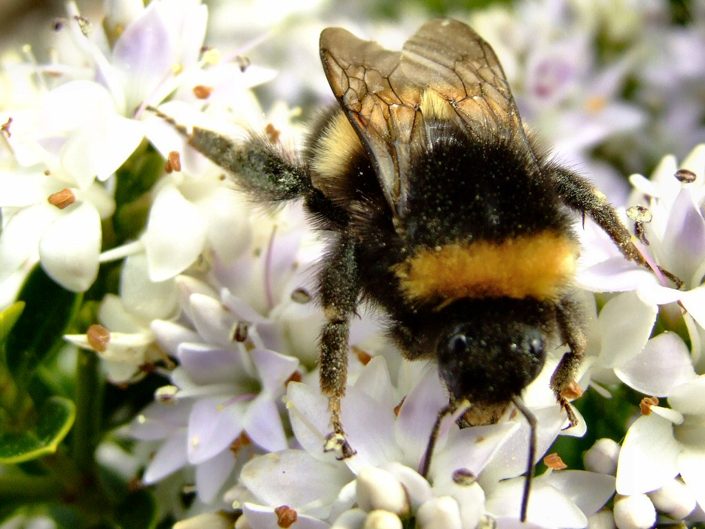 Bumble Bee Facts and Latest Photographs