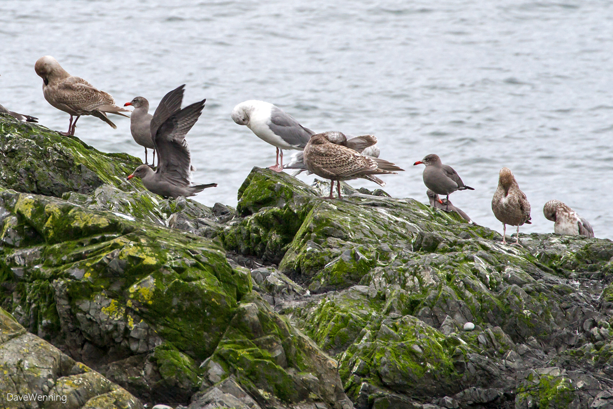 Heermann's Gulls at West Beach