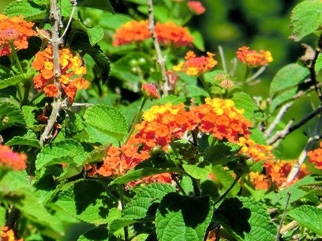 Wandelröschen im Garten des Varangue sur Morne (C) JUREBU