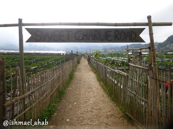 Sweet Charlie Road of Strawberry Farm in La Trinidad, Benguet