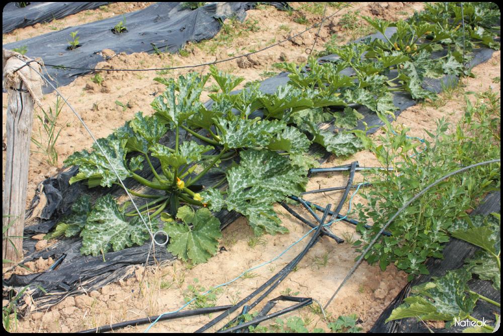 Paillage biodégradable sur cette culture de courgettes  de Servigny
