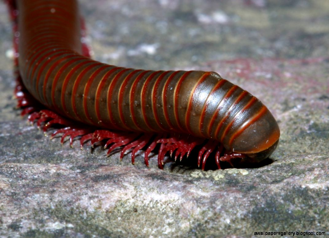 Millipede | The Life of Animals