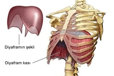 diyafram şekli, diyafram kası