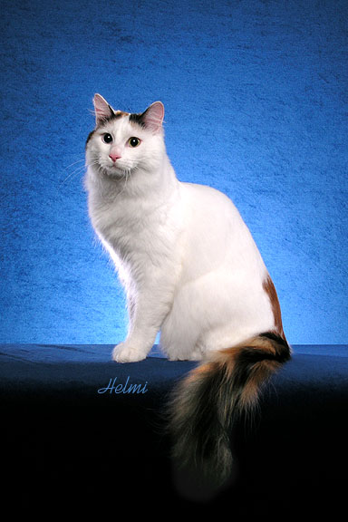 Blog About Cats: What is a van cat?