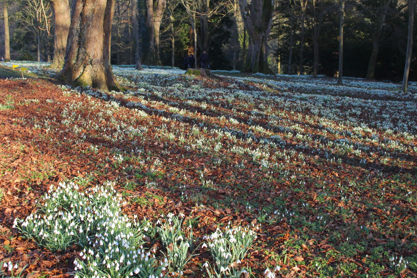 Photo of massed snowdrops at Colesbourne Park, Gloucestershire