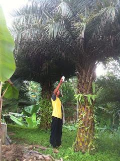 Tukang palm kenari harga paling murah