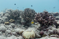 A reef in Kiritimati after the bleaching event. (Credit: Kristina Tietjen, University Of Victoria) Click to Enlarge.