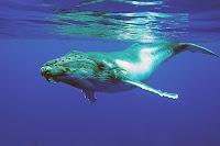 Deniz yüzeyinin hemen altındaki bir kambur balina