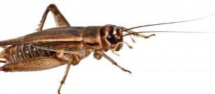 Do's and Don'ts to Get Rid of Crickets
