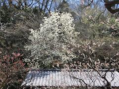 東慶寺のハクモクレン