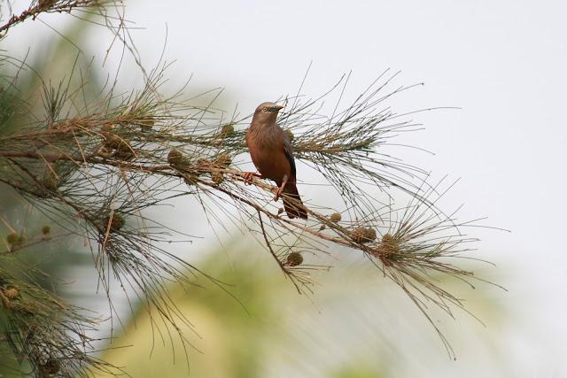 Chestnut-tailed Starling(20 cm) - Davangere