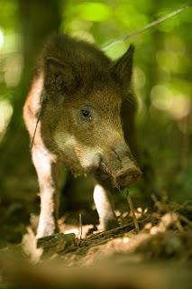 feral hog, wild hog, wild pig