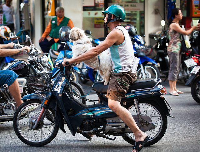 Собака на мопеде Honda dream