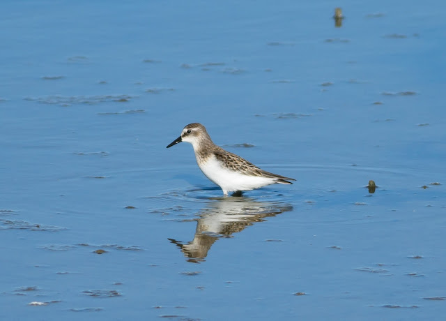 Semipalmated Sandpiper - Titchfield Haven, Hampshire