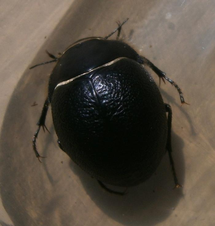 E.muricatus%25236.JPG