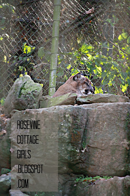 Cougar, Walk on the Wild Side by Rosevine Cottage Girls, Nashville Zoo