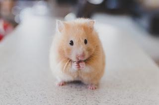 Jenis-Jenis Hamster di Indonesia yang Paling Lucu Beserta Harganya