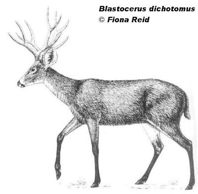 Marsh Deer