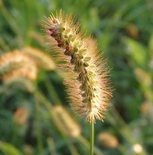 Almorejo (Setaria pumila)