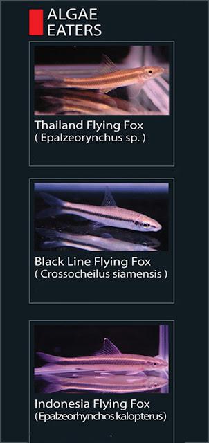 6. Thailand Flying Fox  Nama Lain Epalzeorynchus sp.  7. Black Line flying fox  Nama Lain Crossocheilus siamensis   8. Indonesia flying foc  Nama Lain Epalzeorhynchos kalopterus