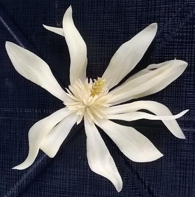 สุคนธา พันธุ์หอมเจริญ (Magnolia Hybrid) จำปีลูกผสม (จำปียูนนาน x จำปีป่า)