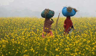 health-experts-protest-against-gm-mustard