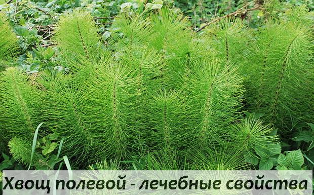Хвощ полевой - полезные свойства