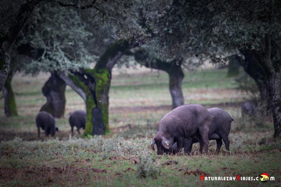 Cerdos en dehesa de Fregenal de la Sierra