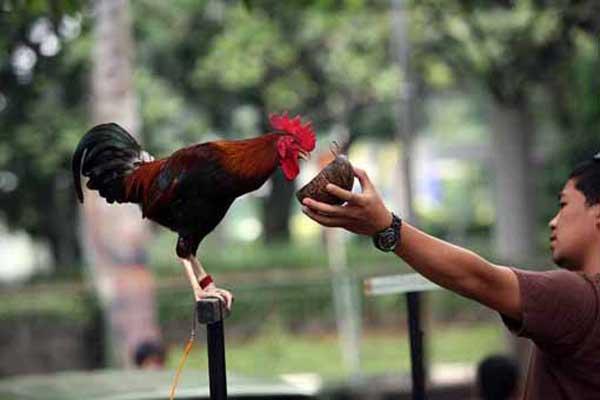 Ayam Lapping  - Macam Jenis Ayam Ketawa