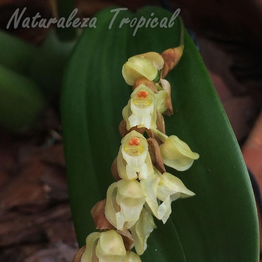 Flores características de la orquídea Pholidota imbricata