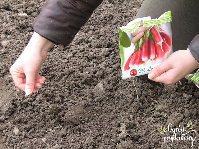 Projekt warzywnik - przygotowanie gleby i pierwsze zasiewy