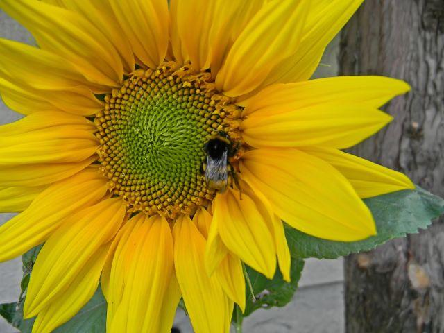 kwiaty ogrodowe, trzmiel, owady