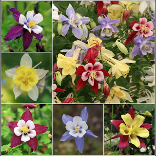 collection of various varieties of columbine flower
