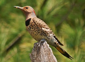 northern flicker, lake arrowhead, woodpecker, bird watching