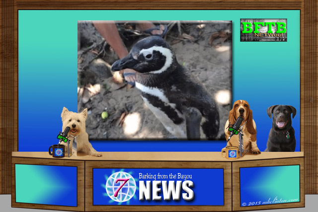 BFTB NETWOof Dog News anchor desk with dog reporters and penguin on background