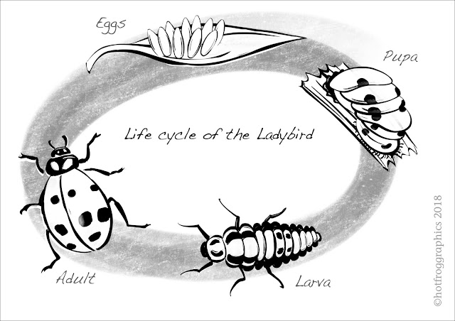 illustration showing stages in ladybird life cycle black and white