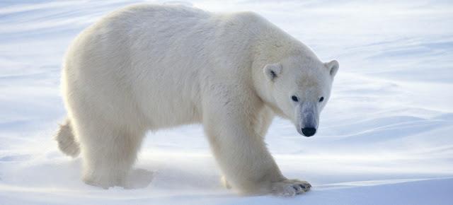 Oso polar y pigmentacion