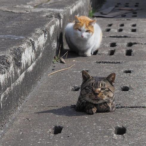 kucing jepang