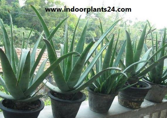Aloe Vera Aloe barbadensis house plant pic