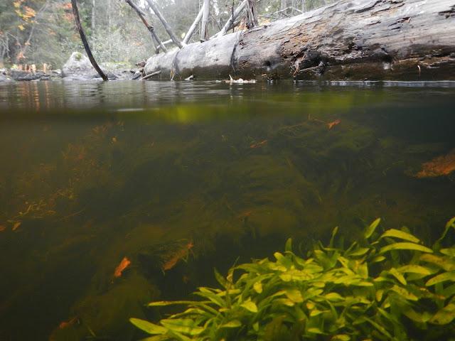 Vedenalaiskuva puron pohjakasvillisuudesta.