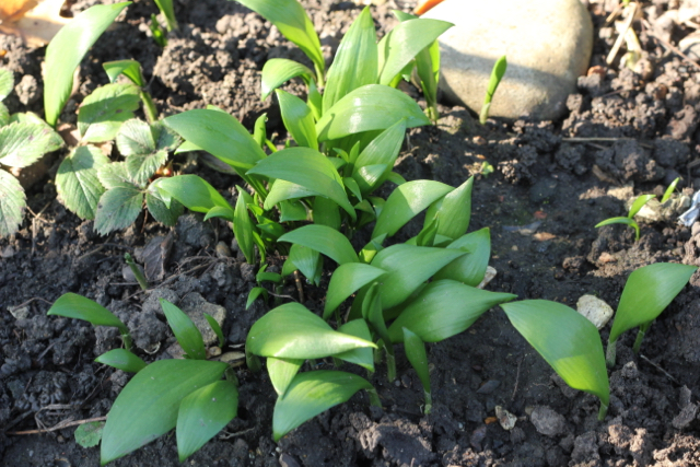 Growing wild garlic in the garden