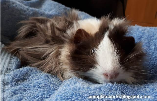 Maisie Abyssinian Guinea Pig baby