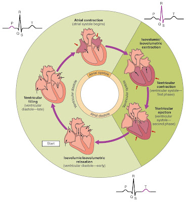 Phases_of_the_Cardiac_Cycle
