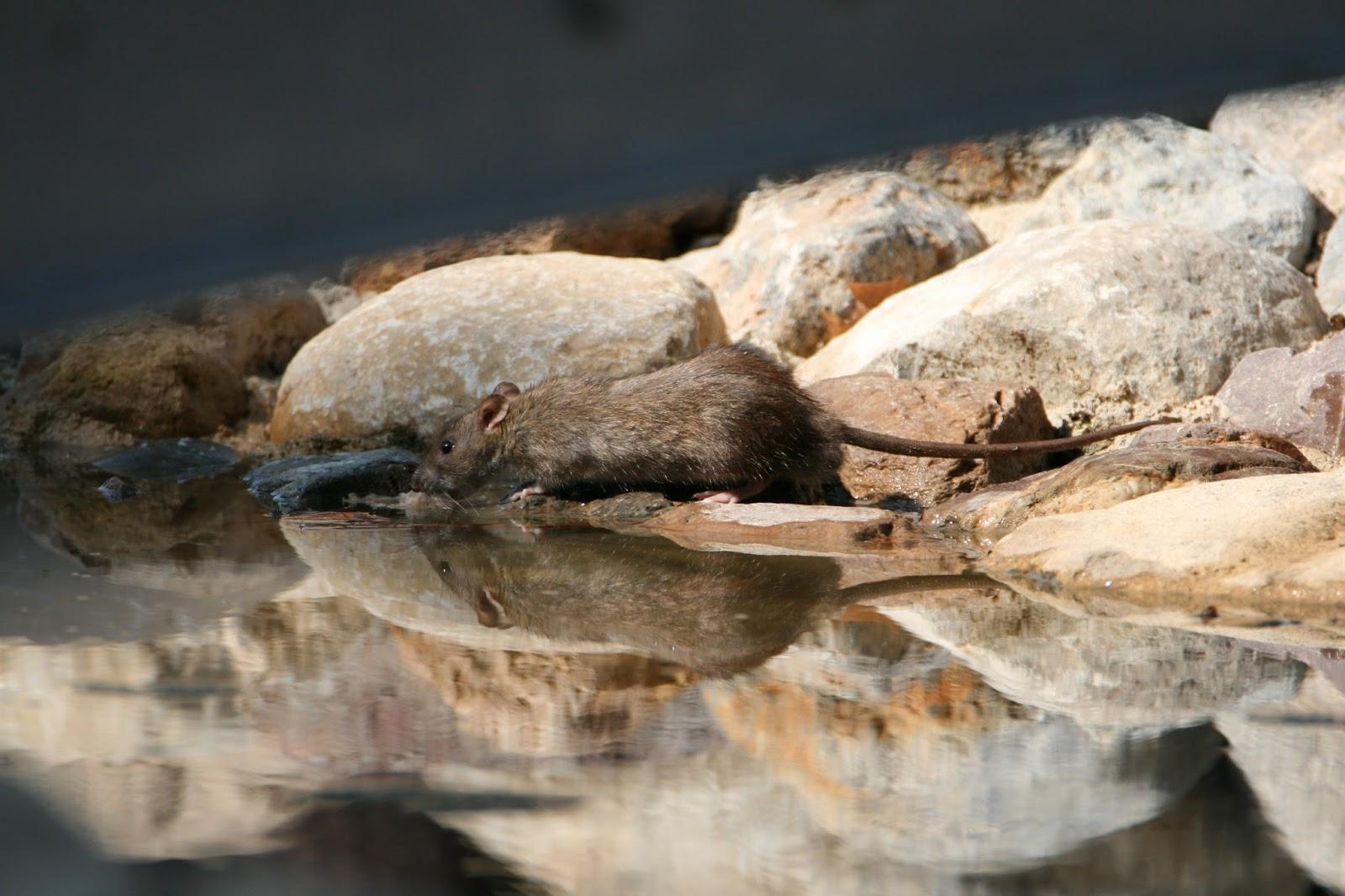 Pajaricos de murcia ratas en el jard n de la seda for Ahuyentar ratas jardin