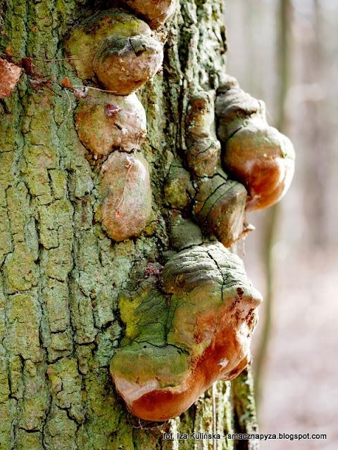 czyren debowy, huba, huby, grzyby, nadrzewniaki, wiosna, oznaki wiosny, las bemowski, lasy miejskie, spacer po lesie, poszukiwanie wiosny, wycieczka do lasu, grzybobranie