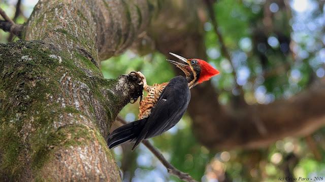 Lineated Woodpecker Dryocopus lineatus erythrops Pica-pau-de-banda-branca male