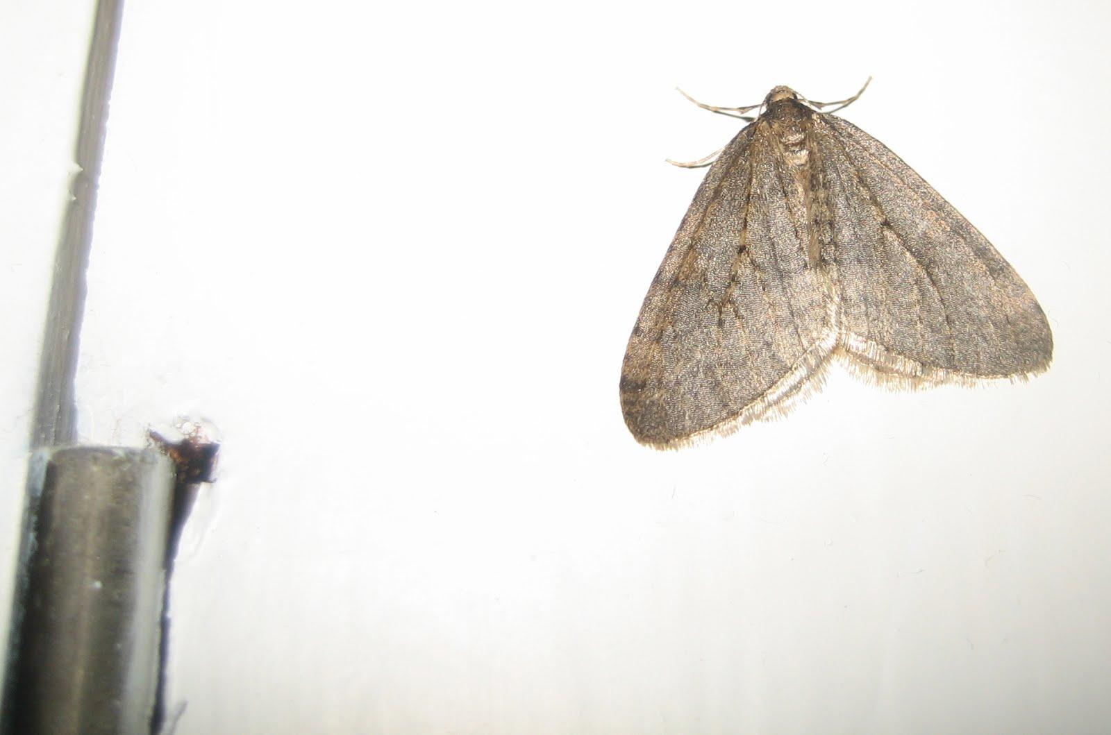 Martin's Moths: Kitchen cabinet moth