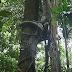 Jenis dan Varietas Pohon Beringin Yang Populer