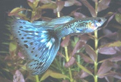 Gambar Ikan Guppy Mosaic - Old Fashion Blue Mosaic